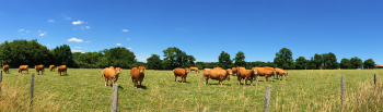 limousin-cows-001