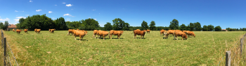 limousin-cows-002