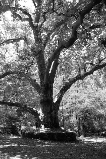 old-tree-bw-001